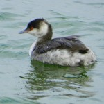 Oftentimes when they encounter grebes in the San Joaquin Valley birders are presented with an identification problem. In all, six species of grebe can be found, depending on the time […]