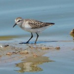 Shorebirds occupy remnant wetlands and the mud flats around our lakes and reservoirs. The largest numbers occur during migration, when they pass through the Valley on their way to southern […]