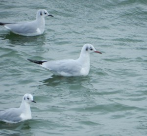 Black-headed Gull with Bonaparte's Gulls