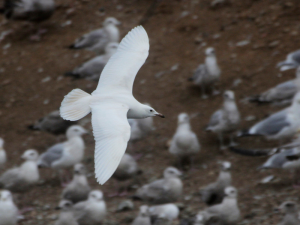 Iceland Gull? Photo by Jim Gain
