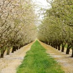 Central Valley Almond Orchard