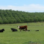 Cattle and Orchard Eastern Stanislaus County