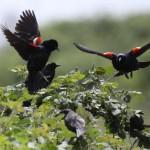 Tricolored Blackbird- Linda Pitman