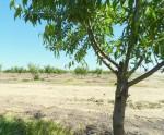 New Orchard Near Modesto Reservoir