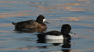 Tufted Duck (foreground) by Jim Gain