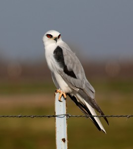 White-tailed Kite by Jim Gain