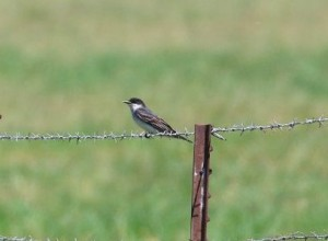 Eastern Kingbird by Gary Zahm