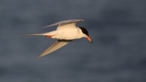 Forster's Tern by Jim Gain