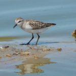 Shorebirds in the Valley