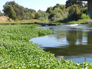 water hyacinths clog Tuolumne River