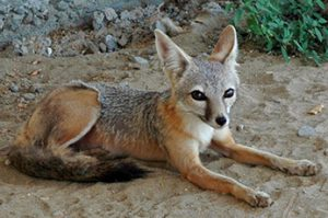 San Joaquin Kit Fox, by California Department of Fish and Wildlife