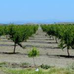 Almond Glut Coming?