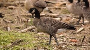 Crackling goose