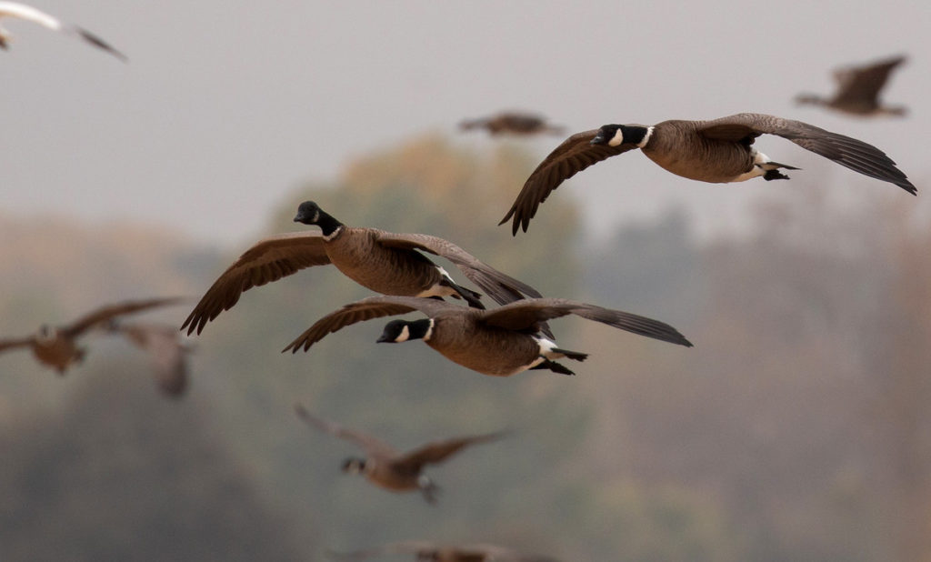 Cackling geese flying