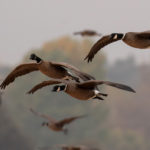 Crackling geese flying
