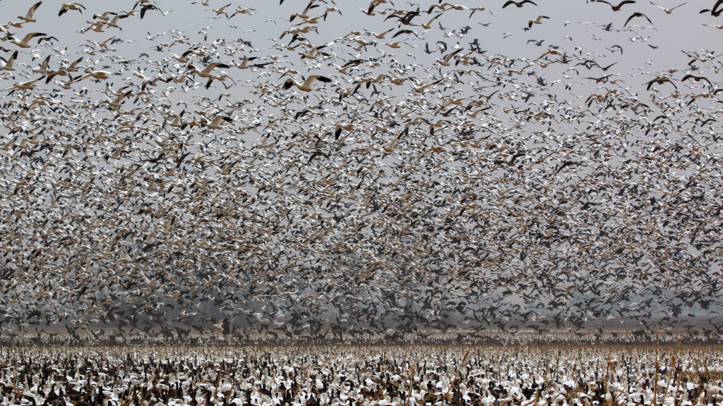 Huge flock of birds