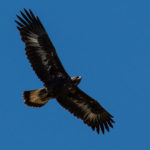 Immature Golden Eagle Del Puerto Canyon by Jim Gain