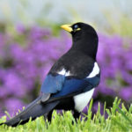 Yellow-billed Magpie by Garry Hayes