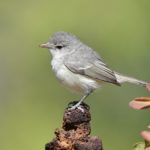 Bell's Vireo by Reago and McClarren