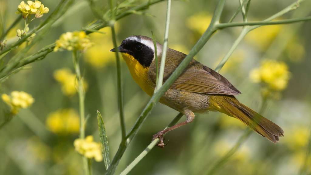 Common Yellowthroat by Jim Gain