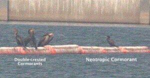 Neotropic Cormorant 30 August 2020 Woodward Reservoir